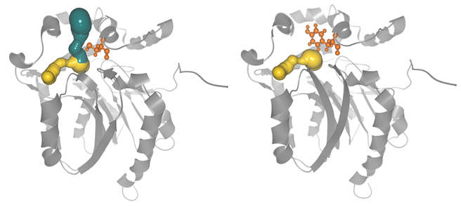 Comparison of the wild type DhaA (left) and the DhaA mutant C176Y (right). The main tunnel is closed by the introduced mutation (in orange).